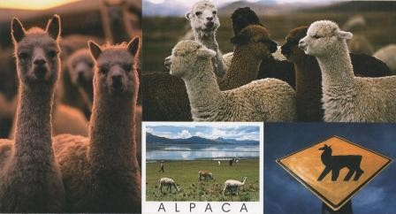 Postkarte Alpaka
